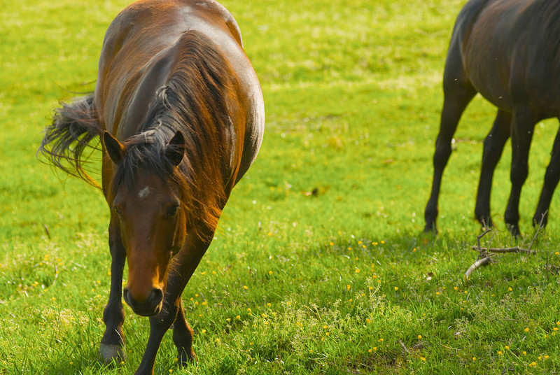 <b>An Horse Says Hello</b> - As I was a stranger in the field, this horse came over to greet me -- or size me up -- by slowly walking up and bowing his head.  I don't speak horse, though.