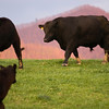 <b>The Bull</b> - He's looking for some cow love.  Do you think he's bothered by my prying eyes?