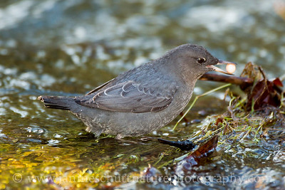 American Dipper with a salmon egg in Chico Creek near Bremerton, Washington.