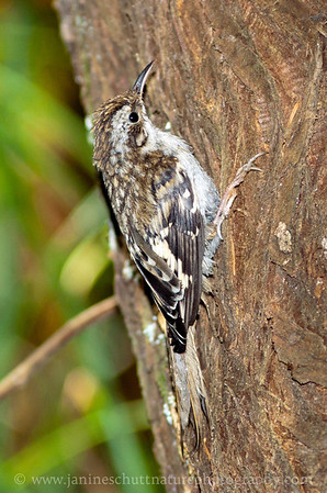 Brown Creeper at Millersylvania State Park near Tumwater, Washington.