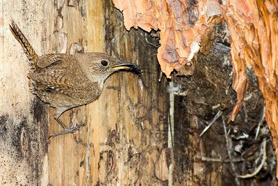 House Wren at its nest on a ponderosa pine tree near Cle Elum, Washington.
