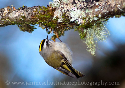 Golden-crowned Kinglet at Nisqually National Wildlife Refuge near Olympia, Washington.