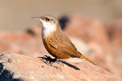 Canyon Wren at Ginkgo Petrified Forest State Park in Vantage, Washington.