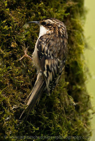 Brown Creeper.  Photo taken along Soos Creek Trail near Covington, Washington.