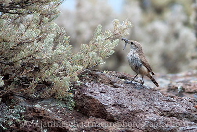 Rock Wren at Ginkgo Petrified Forest State Park in Vantage, Washington.