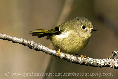 Female Ruby-crowned Kinglet.  Photo taken at County Line Park near Cathlamet, Washington.
