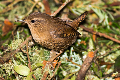 Pacific Wren near Seabeck, Washington.
