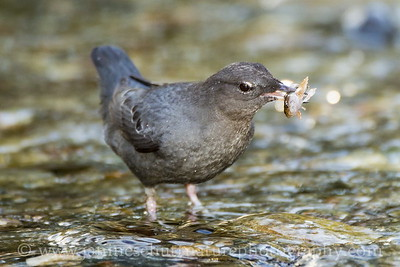 American Dipper with a fish in Chico Creek near Bremerton, Washington.