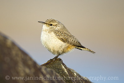 Rock Wren.  Photo taken along Huntzinger Road near Vantage, Washington.