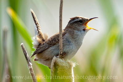 Marsh Wren by the Para/McCain's Ponds near Othello, Washington.