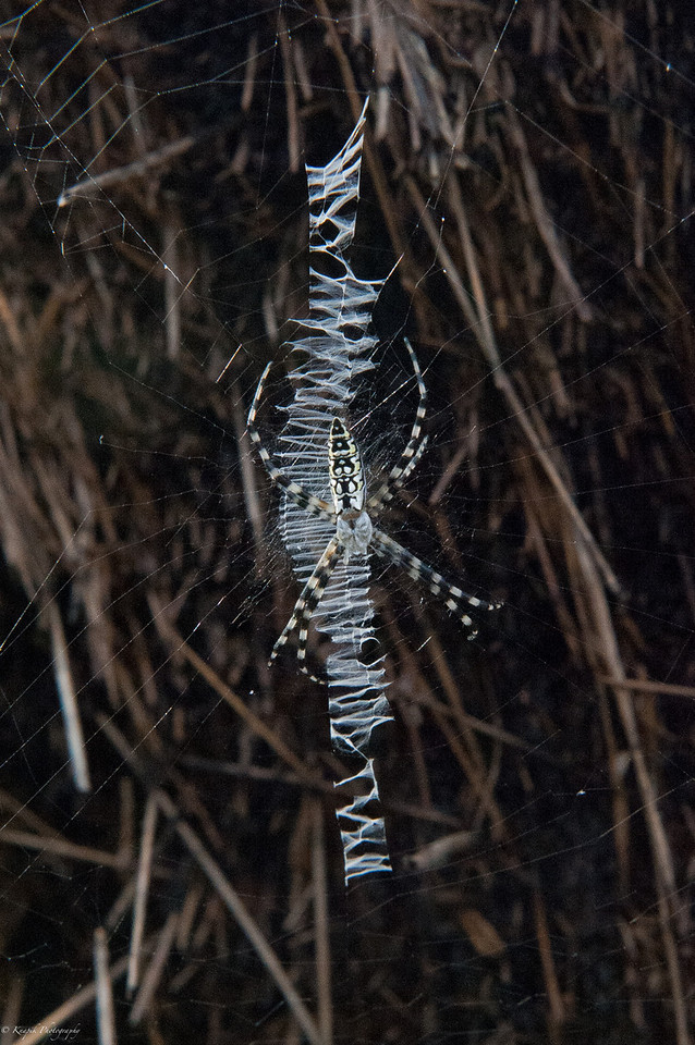 """I don't know what name this spider has but I call her """"Zipper"""" because of the way she has woven her web."""