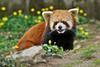 CAS_4205 Red Panda