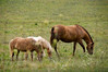 Horses in countryside near Bardstown, Ky