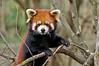 CAS_4164 Red Panda
