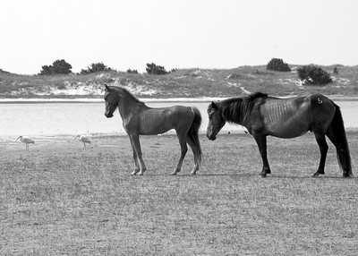Shackleford Horses