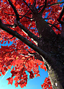 Red Tree 1