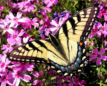 Tiger Swallowtail Outstretched  EDITOR'S PICK, betterphoto.com, August 2009 FINALIST, betterphoto.com August 2009, Animals category  Editor's Pick for betterphoto's monthly contest simply means that that image was noteworthy and has made the first cut into images that will be considered finalists in the contest.    For photos that made it to the Finalist round for August 2009, 886 were chosen as Finalists among the 22,300 total images that were entered that month.  I have to admit it's a little odd to me that this was chosen as a Finalist.  There are so many images in the Animals category that I would consider better (including mine!), so I'm not quite sure why this was chosen . . . but I'll not look a gift horse in the mouth any more than that.