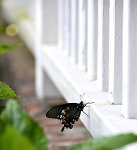 Black Swallowtail on Railing