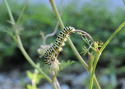 Black Swallowtail Butterfly 9990