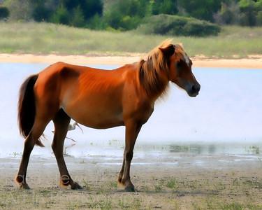 Shackleford Horse