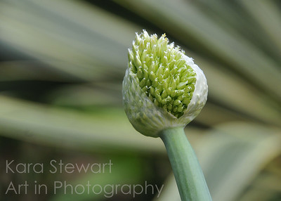 Dutch Allium
