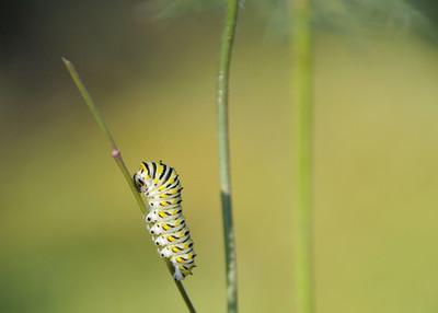 Black Swallowtail Caterpillar 9980