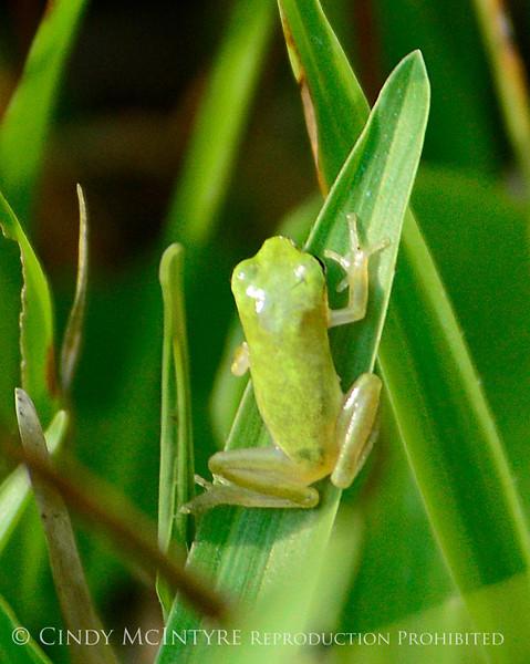 Baby green frog, Crystal River, FL