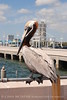 Brown Pelican St Pete FL (4)