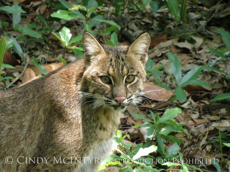 Bobcat, Oatland Island Wildlife Ctr, GA (20)
