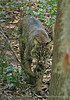 Bobcat, Oatland Island Wildlife Ctr, GA (1)