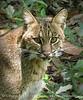 Bobcat, Oatland Island Wildlife Ctr, GA (20) copy