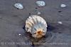 Cannonball jellyfish, Jekyll Island GA (2)
