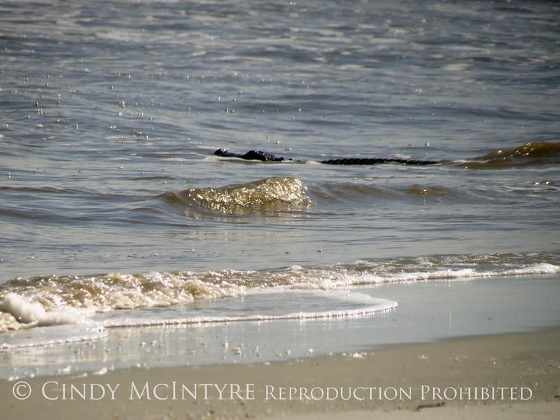 Alligator in ocean, Jekyll Island GA (1)