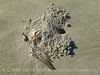 Ghost crab hole and dead gull, Cumberland Isl NS, GA (1)