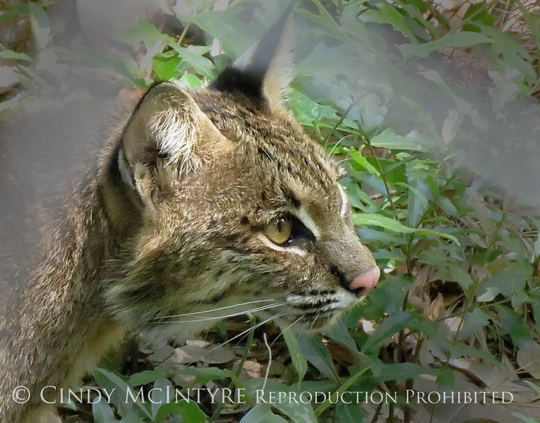 Bobcat, Oatland Island Wildlife Ctr, GA (4)