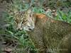 Bobcat, Oatland Island Wildlife Ctr, GA (10)