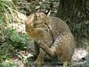 Bobcat, Oatland Island Wildlife Ctr, GA (9)