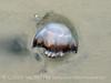 Cannonball jellyfish, Jekyll Island GA (1)