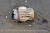 Cannonball jellyfish, Jekyll Island GA (3)