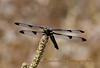 DragonflyBlueI