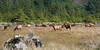 A herd of Roosevelt Elk grazing just off the beach in Northern California...
