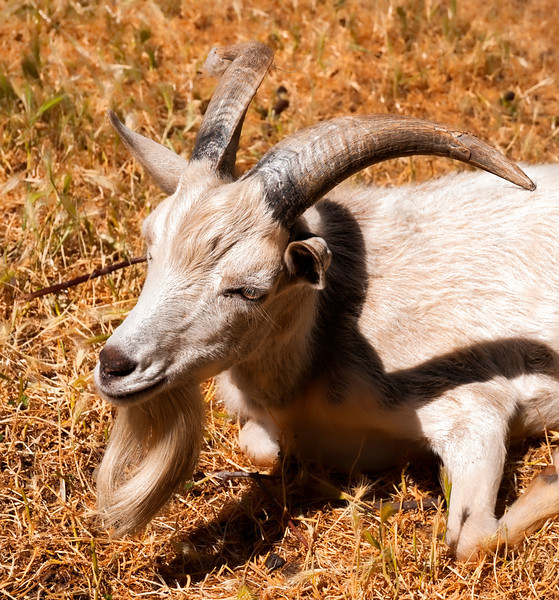Got Your Goat