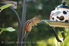 Chipmunk on birdfeeder (2)