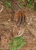 Chipmunk, Maine (12)