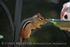Chipmunk on birdfeeder (1)