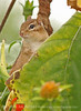 Chipmunk, Maine (1)