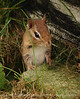 Chipmunk, Maine (15)