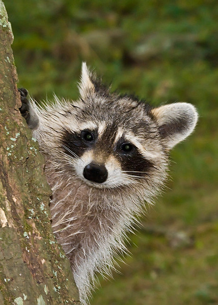 """Wet raccoon. Neighbors were draining their pool and the water ran down the hill towards the drain in my yard the raccoons came running out. I called """"stop"""" to them and one did stop and pose for me."""