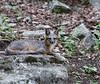 Gray Fox male