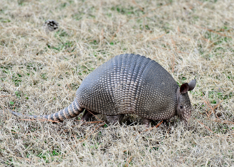 Armadillo at Guntersville Dam 23 Jan 2011